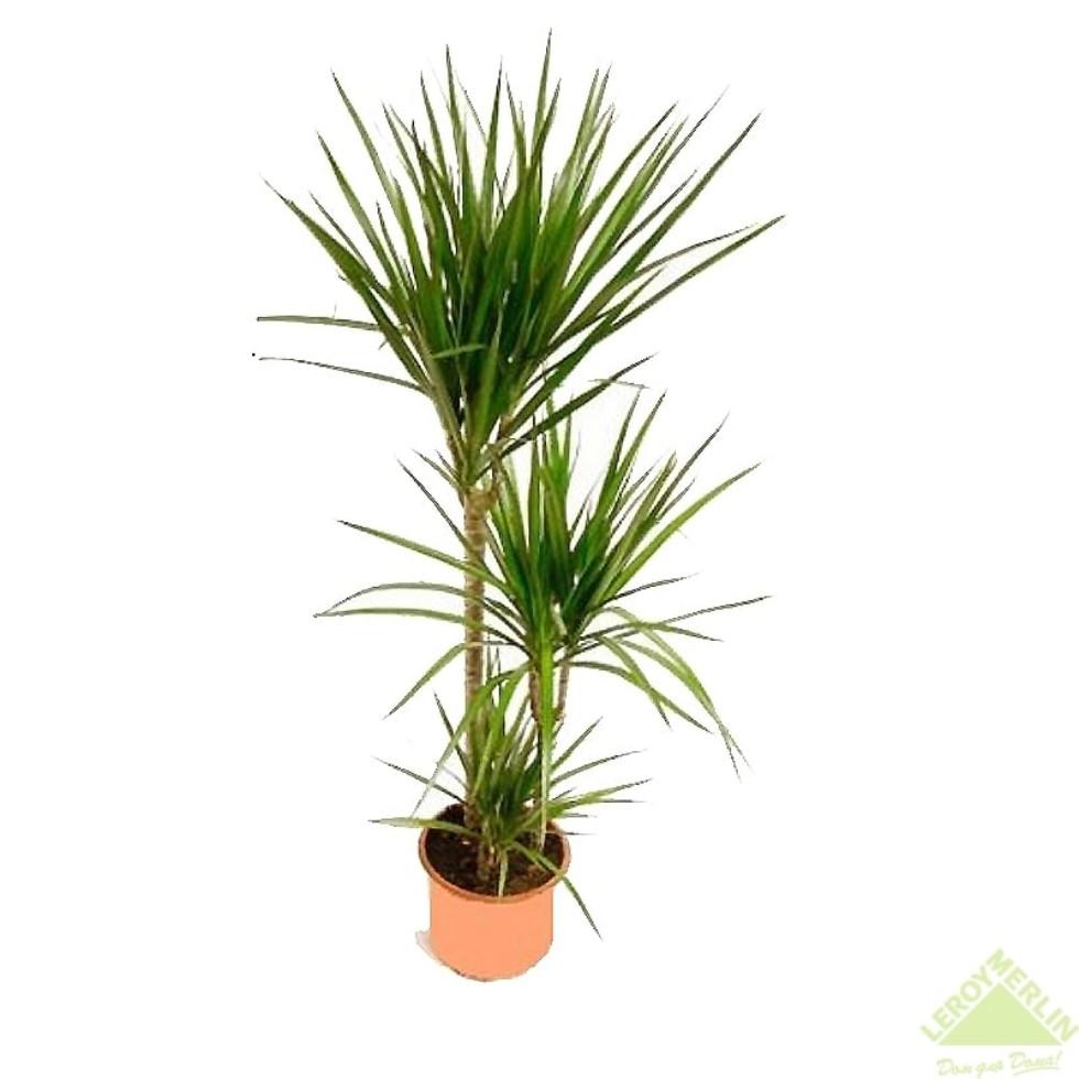 Драцена marg bicolor 603015 24х120 см