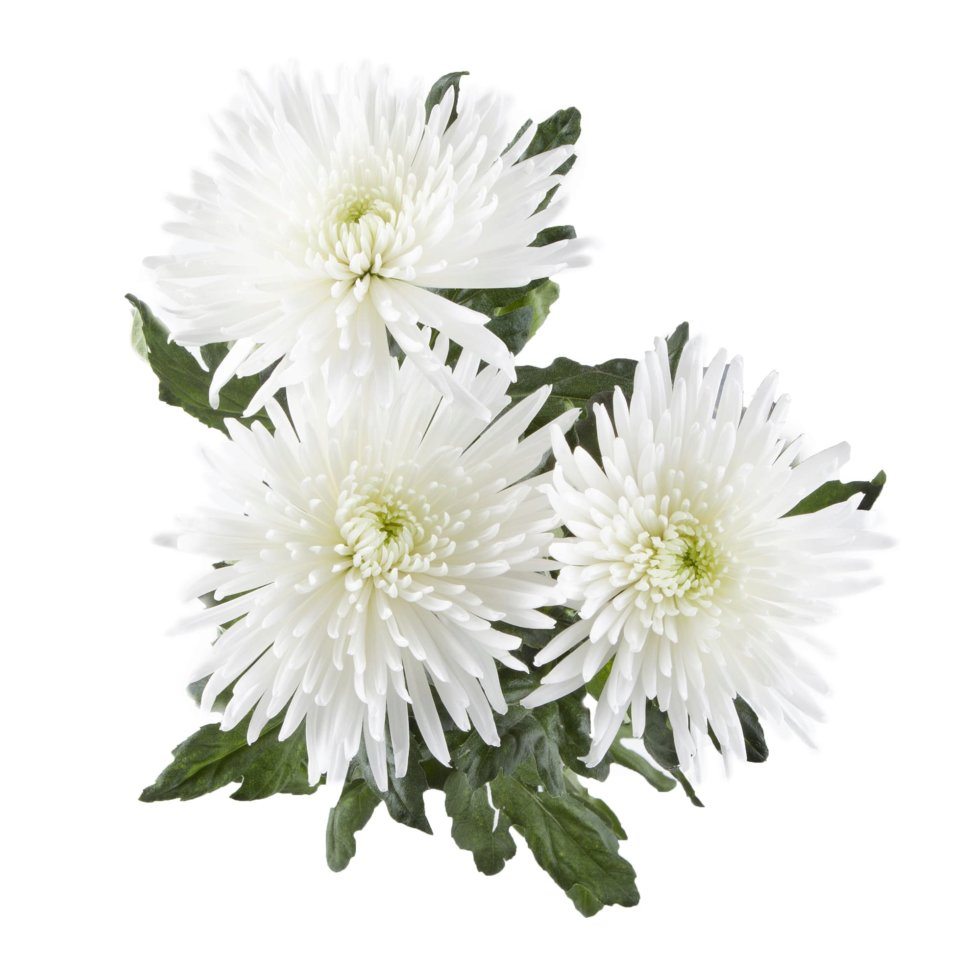 Букет Хризантема Анастасия 60 см, 3 шт.